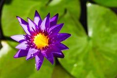 Purpere lotusbloem die met waterdaling bloeien Royalty-vrije Stock Fotografie