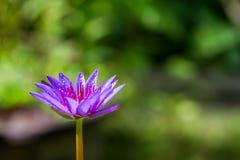 Purpere lotusbloem die met waterdaling bloeien op vage groene bokehachtergrond Stock Afbeelding
