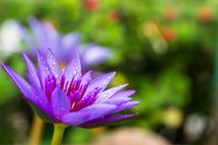 Purpere lotusbloem die met waterdaling bloeien op vage tuinachtergrond Royalty-vrije Stock Afbeeldingen
