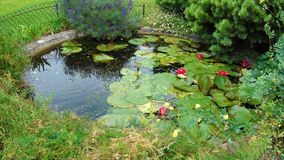 Purpere lotusbloem in het park stock afbeelding
