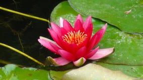Purpere lotusbloem in het park royalty-vrije stock fotografie