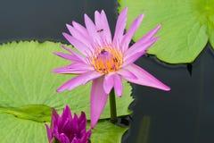 Purpere lotusbloem met bij op stuifmeel Stock Fotografie