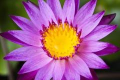 Purpere lotusbloem met geel stuifmeel Stock Afbeelding
