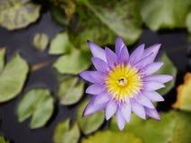 Purpere lotusbloem met kleine bij in de vijver Stock Foto's