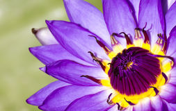 Purpere lotusbloem in mooie vijvervissen stock foto