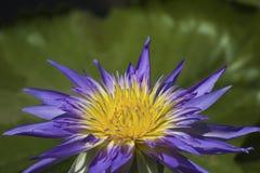 Purpere lotusbloem in mooie vijvervissen stock afbeeldingen