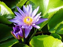 Purpere lotusbloem onder zonlicht in de ochtend Stock Afbeelding