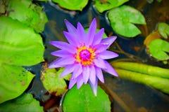 Purpere lotusbloem op het water stock afbeelding