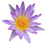 Purpere lotusbloem op isolate achtergrond Royalty-vrije Stock Afbeeldingen