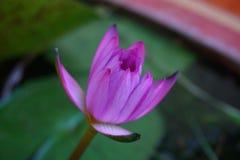 Purpere lotusbloem op onduidelijk beeldachtergrond Royalty-vrije Stock Foto's