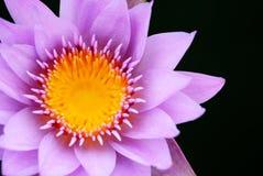 Purpere lotusbloemachtergrond Stock Afbeeldingen