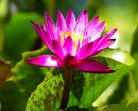 Purpere lotusbloembloem Royalty-vrije Stock Foto's