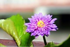 Purpere lotusbloembloem Stock Foto's