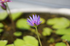 Purpere lotusbloembloem in de vijver Stock Foto's