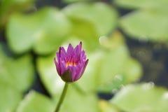 Purpere lotusbloembloem in de vijver Stock Afbeeldingen