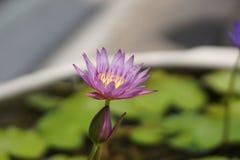 Purpere lotusbloembloem in de vijver Royalty-vrije Stock Foto
