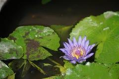 Purpere lotusbloembloem in de vijver Royalty-vrije Stock Afbeelding