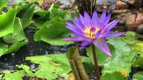 Purpere lotusbloembloem met groene bladeren in de vijver tijdens stock videobeelden