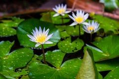 Purpere lotusbloembloem in tuin Stock Foto