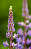 Purpere lupine Royalty-vrije Stock Fotografie