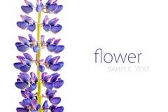 Purpere lupine op witte achtergrond, lege plaats voor uw tekst Stock Foto's
