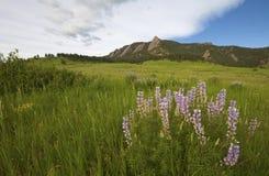 Purpere lupinebloemen Stock Foto's