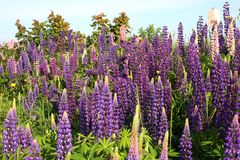 Purpere Lupines Royalty-vrije Stock Afbeelding