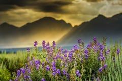 Purpere Lupines in Tetons stock afbeeldingen