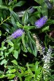 Purpere Maïskolfbloemen in Terras Stock Foto