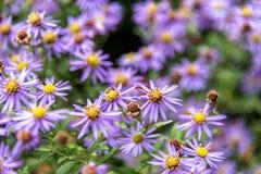 Purpere madeliefjebloemen in de tuin met onduidelijk beeldachtergrond royalty-vrije stock foto