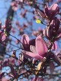 Purpere magnolia royalty-vrije stock foto