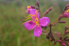 Purpere Malabar-bloem Stock Afbeelding