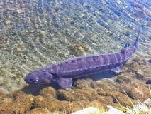 Purpere Meersteur die in Vijver zwemmen Stock Foto's