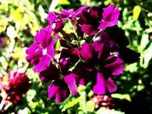 Purpere mooie flowe Stock Foto