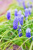 Purpere Muscari-bloemen royalty-vrije stock fotografie
