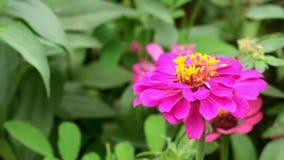 Purpere narrowleaf Zinnia in de tuin stock footage