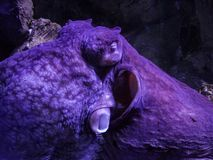 Purpere octopusslaap in een aquarium in Kiev royalty-vrije stock fotografie