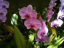 Purpere orchideeën Stock Fotografie