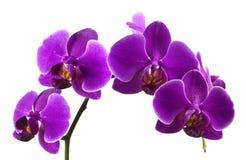 Purpere orchideeën Royalty-vrije Stock Fotografie