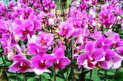 Purpere orchideeën Royalty-vrije Stock Foto