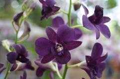 Purpere orchideeën Stock Foto's