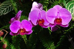 Purpere orchideeën stock afbeelding