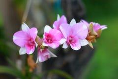 Purpere orchideeën in aard stock foto's