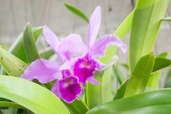 Purpere orchideeën in de tuin Stock Afbeelding