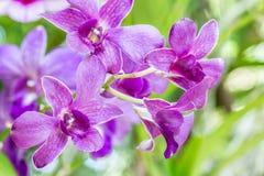Purpere orchideeën, Dendrobium Royalty-vrije Stock Foto