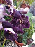 Purpere Orchideeën een andere artistieke verwezenlijking van moederaard Stock Foto's