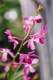Purpere Orchideeën met Groene Bladerenachtergrond Royalty-vrije Stock Afbeeldingen