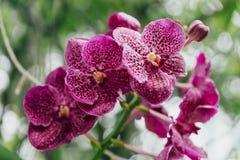 Purpere Orchideeën met Groene Bladerenachtergrond Royalty-vrije Stock Fotografie