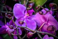 Purpere orchidee?n met knoppen stock afbeelding