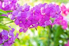 Purpere orchideeën, Vanda Royalty-vrije Stock Foto's